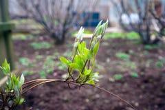 Jonge spruiten van clematissen in groene tuin royalty-vrije stock afbeeldingen