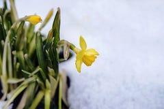 Jonge spruiten van de dooi van de narcissenbloem in sneeuw na vorst Stock Afbeeldingen