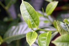 Jonge spruiten van de thee Stock Foto