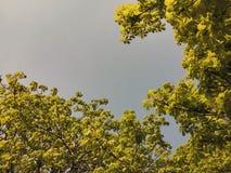 Jonge spruiten van kastanje tegen de blauwe hemel stock afbeelding