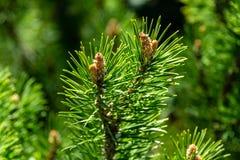 Jonge spruiten van Pinus van de bergpijnboom mugo Pumilio Klein en pluizig Zonnige dag in de lentetuin royalty-vrije stock afbeeldingen