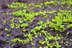 Jonge spruiten van sla in de tuin op de natte grond met een vulklei royalty-vrije stock foto
