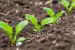 Jonge spruiten van suikerbiet royalty-vrije stock afbeelding