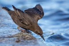 Jonge Starling Royalty-vrije Stock Foto