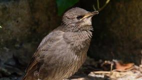 Jonge Starlings in boom in stedelijke tuin stock footage