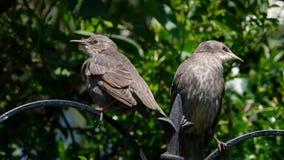 Jonge Starlings in boom in stedelijke tuin stock videobeelden