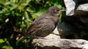 Jonge Starlings die en naar voedsel drinken zoeken stock video