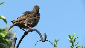 Jonge starlings in tuin in de voorsteden stock footage