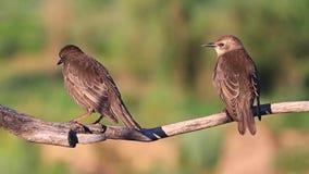 Jonge starlingssprongen op droge tak stock videobeelden
