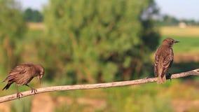 Jonge starlingssprongen op droge tak stock video