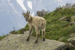 Jonge Steenbok in de Franse Alpen Stock Foto