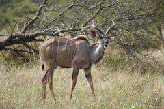 Jonge stier Kudu in bushveld Stock Fotografie