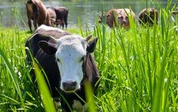 Jonge stier -stier-calfe op weiland Stock Afbeeldingen