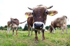 Jonge stieren op het weiland stock foto's