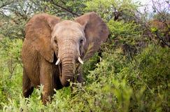 Jonge stierenolifant Stock Foto's
