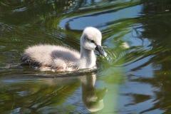 Jonge Stodde zwaan, Cygnus-olor die op een meer zwemmen stock afbeeldingen