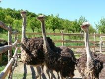 Jonge struisvogels op een landbouwbedrijf Stock Afbeelding