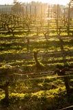 Jonge tak met sunlights in de wijngaarden van Bordeaux royalty-vrije stock afbeeldingen