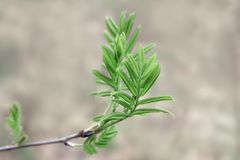 Jonge tak van lijsterbes met tedere bladeren in de lente royalty-vrije stock foto's