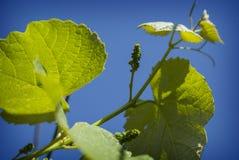 Jonge takken van druiven op aard Royalty-vrije Stock Afbeeldingen