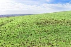 Jonge tarwe, het jonge groene tarwegebied groeien in de lente royalty-vrije stock afbeelding