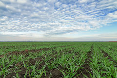 Jonge tarwe op gebied Jonge tarwezaailingen die op een gebied groeien Stock Afbeelding