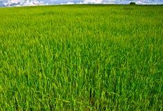 Jonge tarwe op het gebied Royalty-vrije Stock Foto