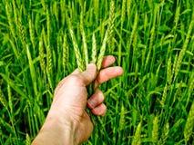 Jonge tarwe op het gebied Royalty-vrije Stock Fotografie