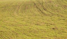 Jonge tarwezaailingen die op een gebied groeien Jonge tarwe op gebied Stock Afbeelding