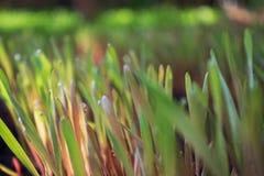 Jonge tedere groene roggespruiten met zonnige dauwdalingen op land Stock Foto's
