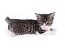 Jonge tien weken oud katjes Royalty-vrije Stock Afbeeldingen