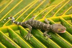 Jonge tokay gekko op een palmblad, Ang Thong National Marine stock fotografie