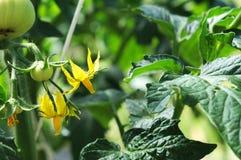 Jonge tomatenplant Royalty-vrije Stock Afbeeldingen