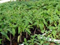 Jonge tomatenplant royalty-vrije stock foto
