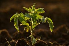 Jonge tomatenplant Stock Afbeeldingen