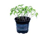 Jonge tomatenspruiten Royalty-vrije Stock Afbeeldingen