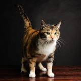 Jonge Torbie Kitten Cat Looking Stock Foto