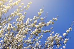 Jonge tot bloei komende appelboom op de hemelachtergrond met zonlicht stock afbeeldingen