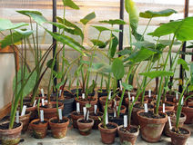 Jonge tropische gewasseninstallaties Stock Afbeelding