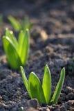 Jonge tulpen Stock Foto's