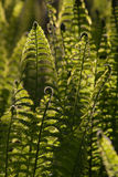 Jonge varenbladeren backlit door zonlicht Royalty-vrije Stock Foto's