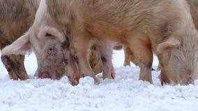 Jonge varkens stock video