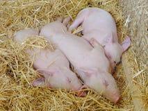 Jonge varkens die op stro in varkensstal slapen Stock Afbeeldingen