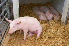 Jonge varkens op het landbouwbedrijf Royalty-vrije Stock Fotografie