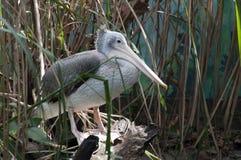 Jonge vlek-gefactureerde pelikaan in moerasland stock foto's
