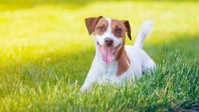 Jonge vlot-met een laag bedekte Jack Russell Terrier-hond stock fotografie