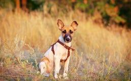 Jonge vlotte fox-terrier Royalty-vrije Stock Afbeelding