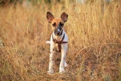 Jonge vlotte fox-terrier Stock Afbeelding