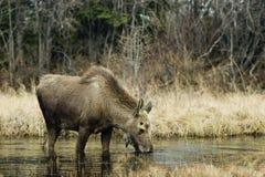 Jonge voedende Amerikaanse elanden Stock Foto