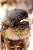 Jonge vogel Royalty-vrije Stock Fotografie